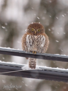 Pygmy Owl on powerline