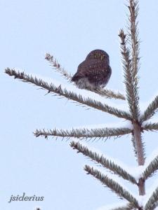 Pygmy Owl on small spruce