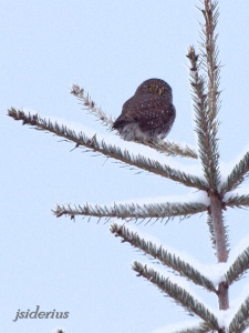 Pygmy Owl on small spruce