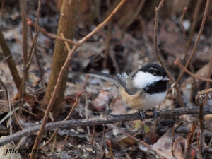 Mountain Chickadee checking the feeder out