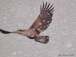 Eagle flying insnow