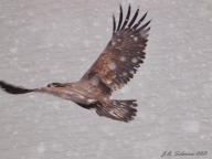 Eagle flying in snow