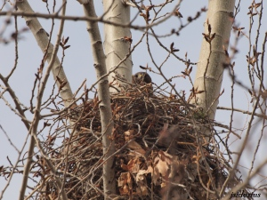 Nesting Red-tailed Hawk near Vernon