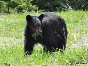Black bear browsing on the fresh spring grass