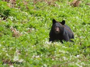 Black Bear surrounded by spring salad