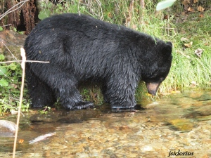 Black Bear fishing for Kokanee Salmon
