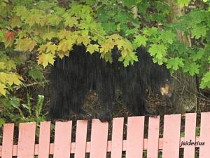 Black bear climbing an urban fence