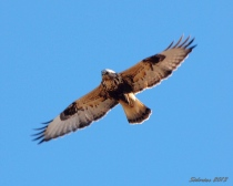 Rough-legged Hawk flying overhead