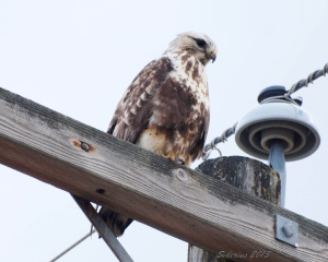 Rough-legged Hawk - looking for rodents?