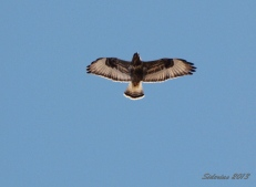 Rough-legged Hawk soaring overhead.