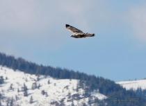 A wintering Rough-legged Hawk near Creston