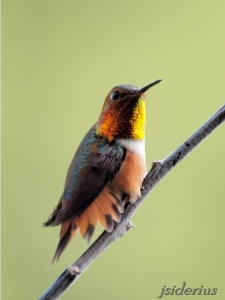 Rufous Hummingbird male flaring his tail feathers