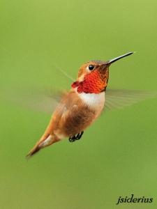 Rufous Hummingbird male