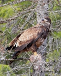 Young Eagle withprey
