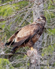 Young eagle eating a hare