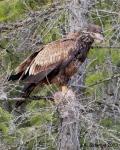 syringa juvenile eagle look upsigned