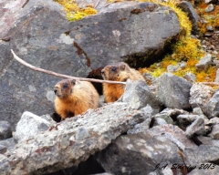 Two young yellow-bellied marmots