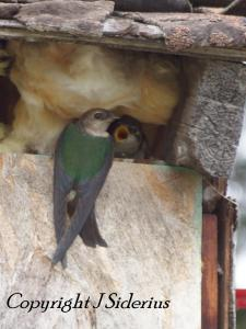 female violet-green swallow at the nest - with a hungry young!