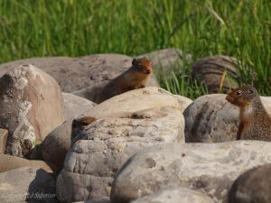 Three young Columbian Ground Squirrels outside the burrow