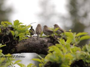 House Finch Fledglings