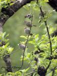 House Finch Fledglings