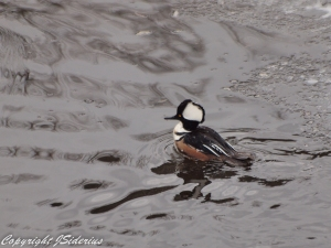 Hooded Merganser Male in the Rain