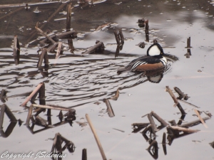 foraging in a winter pond
