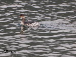 Eared Grebe in winter plumage