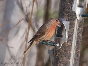 Male House Finch taking a feeding break from singing