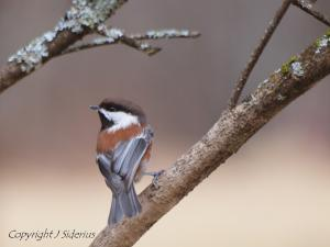 Chestnut-backed Chickadee checking out my feeder