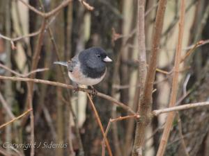 Dark-eyed Junco that is part of a large feeding flock