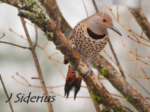 A female Northern Flicker on the first day of spring