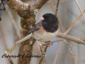 A Dark-eyed Junco adult
