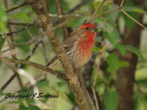 Summer House Finch Male