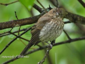 House Finch Fledgling