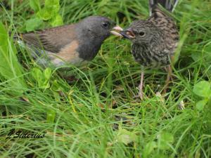 Dark-eyed Junco feeding young