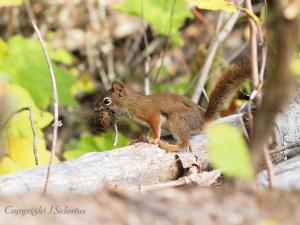 raiding a chipmunk nest