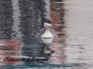 An Eared Grebe in winter plumage