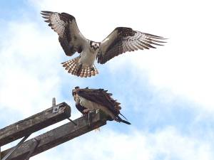 """Two Osprey females """"talking it over"""""""