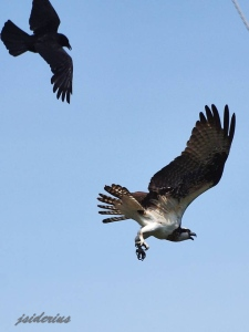 An Osprey chased by a crow