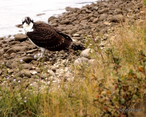 Young Osprey feeding on the ground