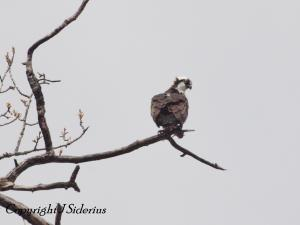 first Osprey of 2013