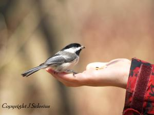 A hungry chickadee
