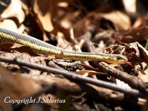 Eastern Garter Snake