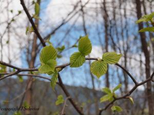 Fresh and vibrant green - new Alder leaves