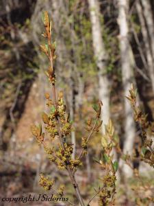 Soopalalie (Shepherdia canadensis) in flower