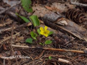 The leaves of this yellow violet stay green over winter.