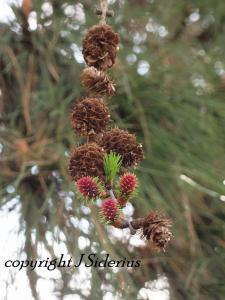 Young Larch leaves and cones.