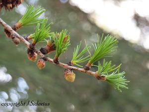 Soft, young Larch leaves.  This tree is a conifer - but not an ever-green.