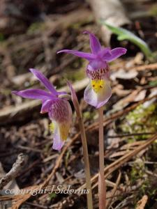 The Fairyslipper is a beautiful orchid that can only grow in association with a specific fungus.